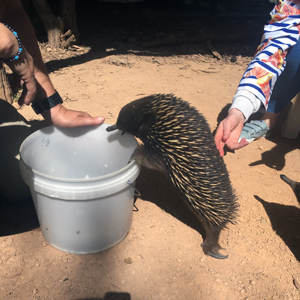 Lincoln the echidna tries to get into the food bucket